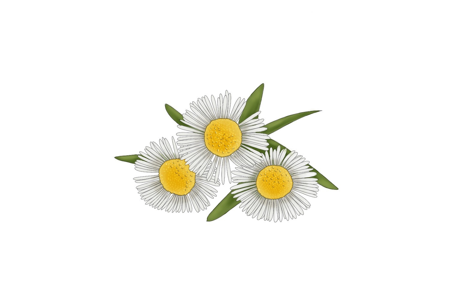 Chamomile Extract - A botanical extract known for its calming properties. Just like chamomile tea, is best to drink at bedtime and helps to soothe an upset stomach. It is in the Clay Mask to soothe the skin and calm the inflammation of a blemish.