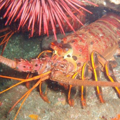CA Spiny Lobster.jpg