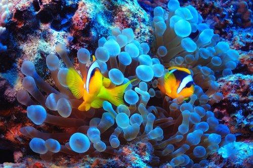 Reef_Clown_Fish.jpg