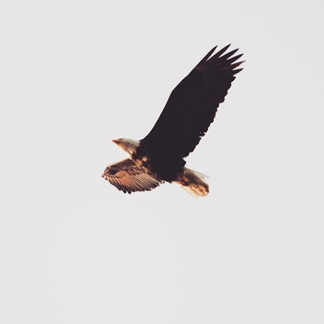Glad I made it to Haida Gwaii. First day and spotted a majestic eagle 🦅#eagle #haidagwaii #nature #wildlife #canonphotography