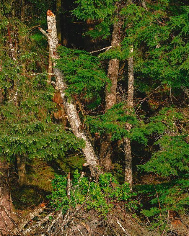 #naturewalk #haidagwaii #travelphotography #trees #beautifuldestinations