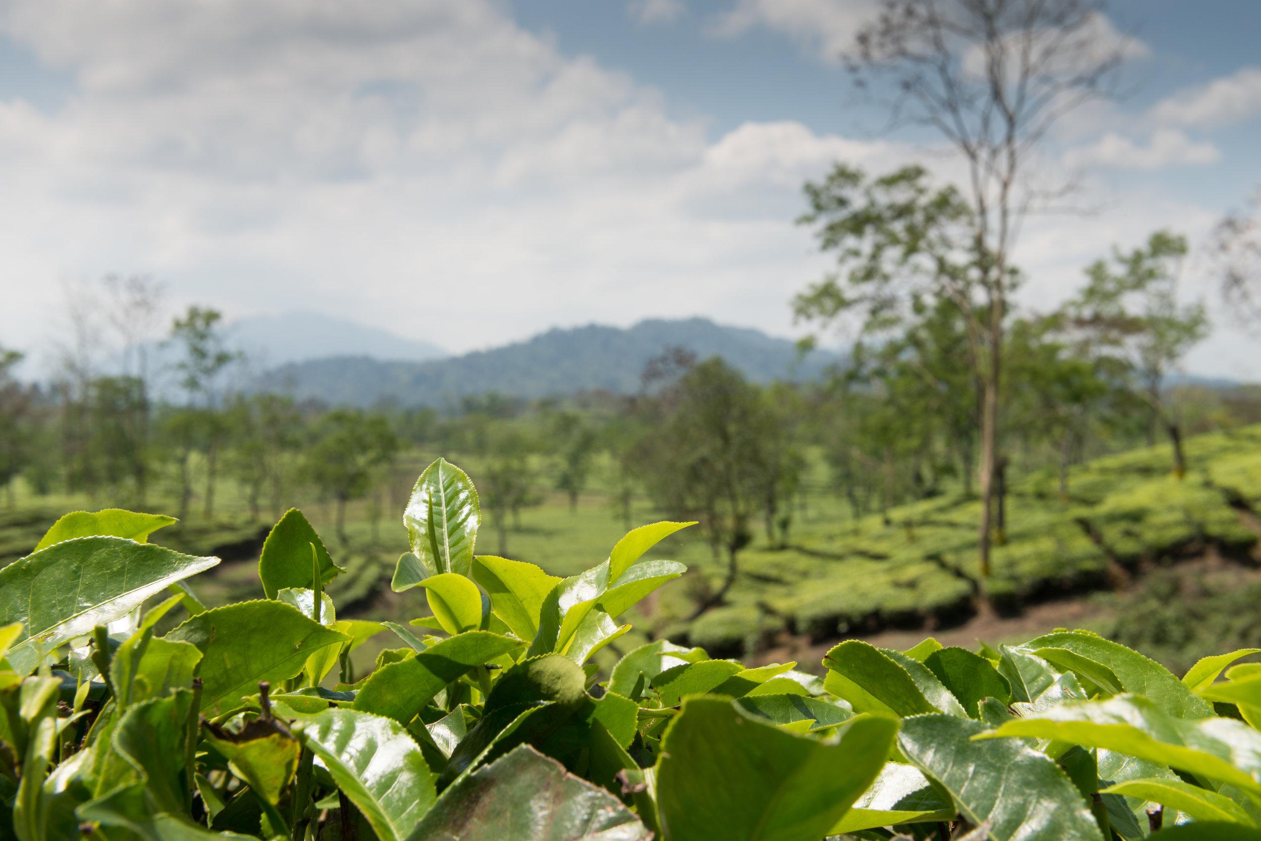 Namdang Tea Estate