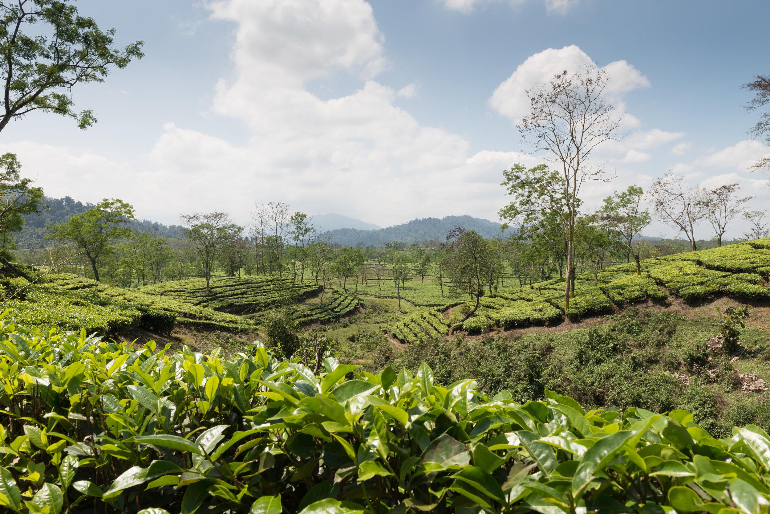 Tea Estate Assam, India.