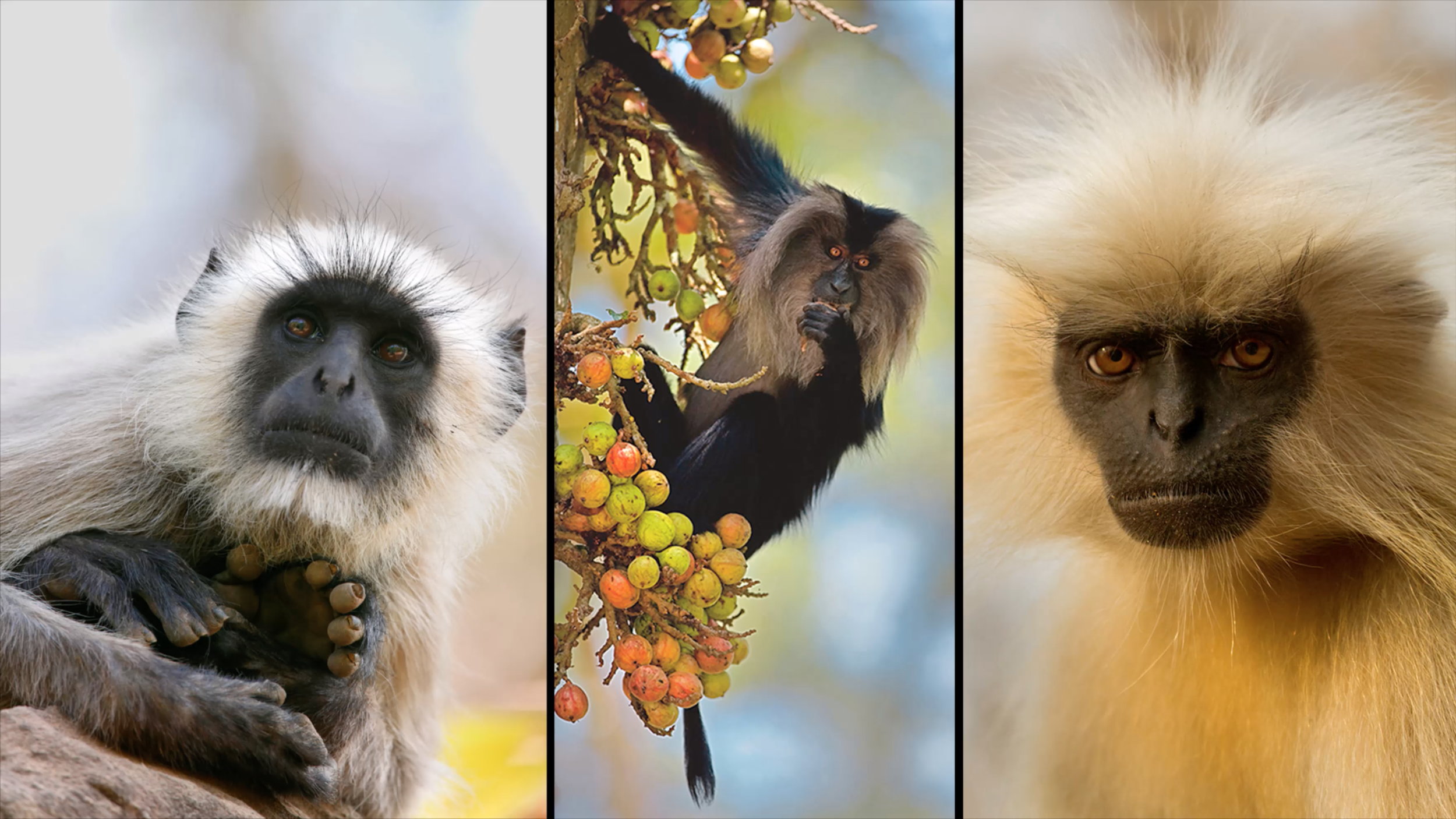 Rare Species: a lion tailed macaque photograph by © Diinesh Kumble