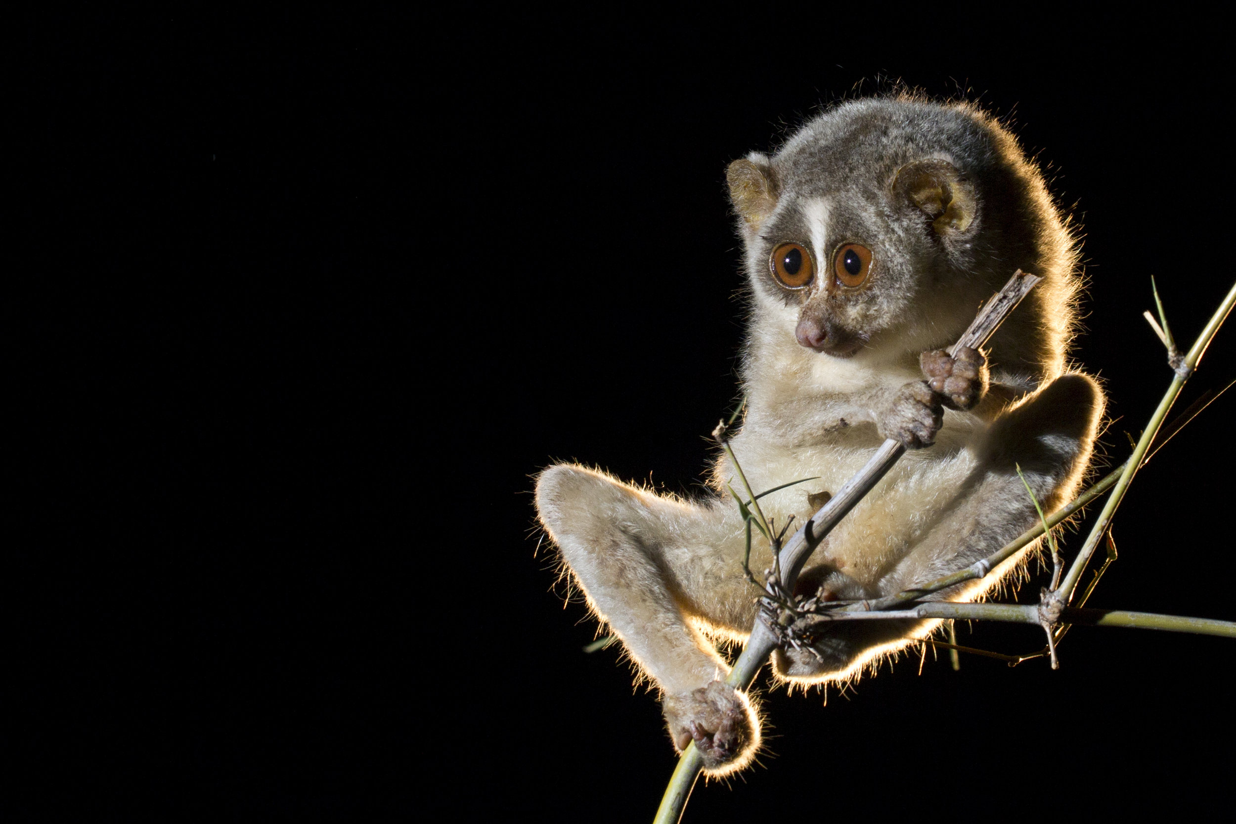 Slender Loris are a genus that's native to India and Sri Lanka. Picture by © Diinesh Kumble