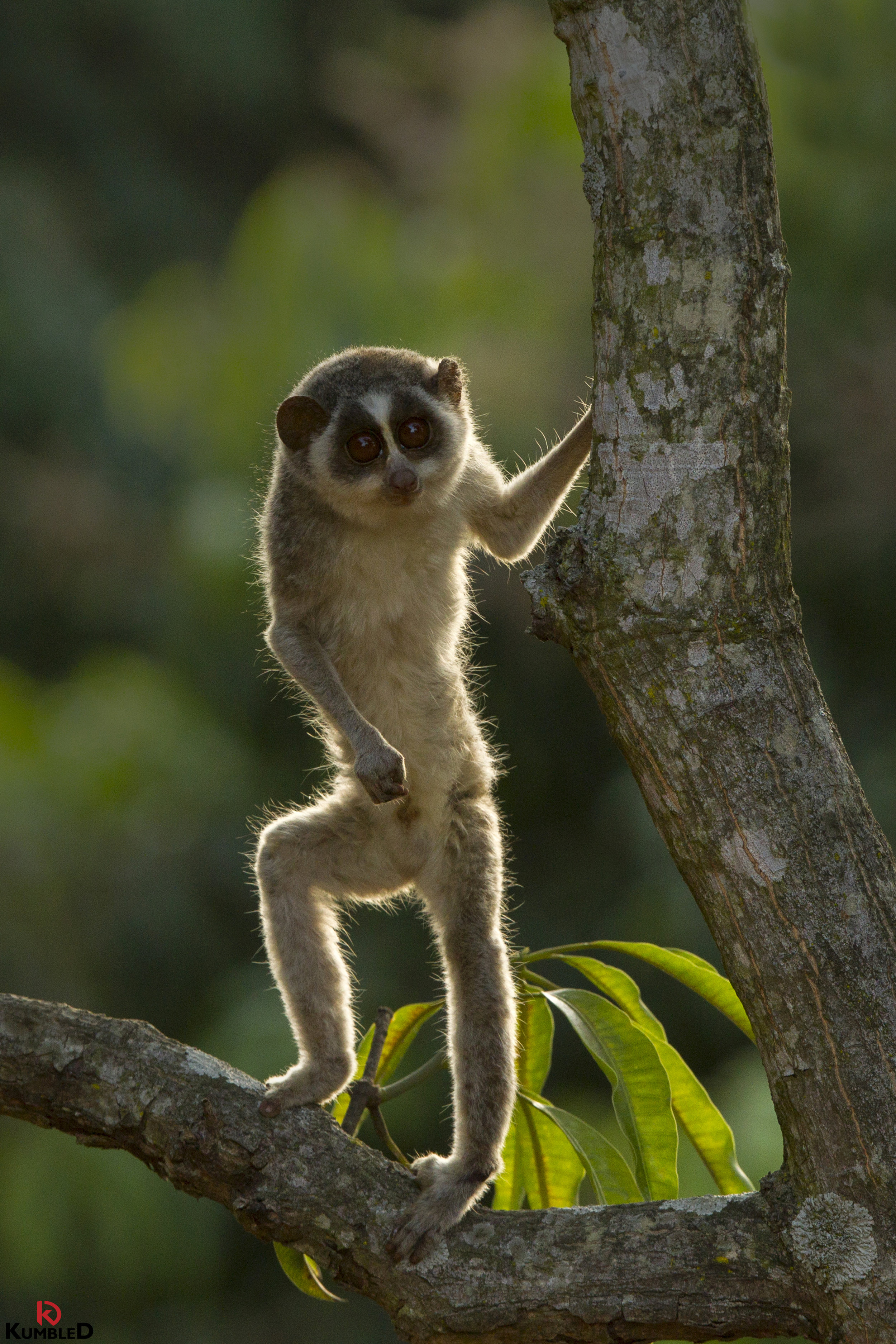 Every year, hundreds of Slender Lorises are smuggled illegally to meet the demands of the exotic pet trade. Photograph by © Diinesh Kumble