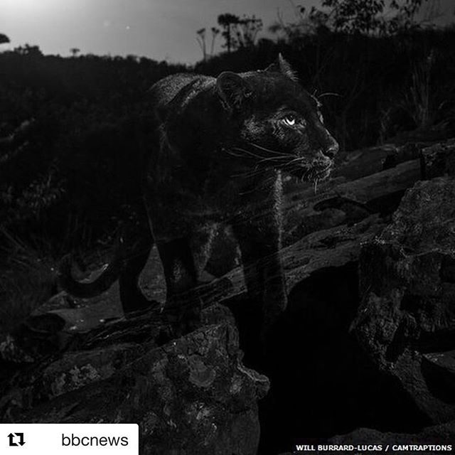 This is so interesting! #Repost @bbcnews with @get_repost ・・・ This rare black leopard has been caught on camera for what's thought to be first time in 100 years. Wildlife photographer Will Burrard-Lucas (@willbl) managed to snap it after hearing rumours there was one in a Kenyan safari camp. He had to be patient to capture the images of this iconic, secretive creature, tap the link our bio to find out how he did it. #blackleopard #leopard #kenya #wildlifephotography #bbcnews