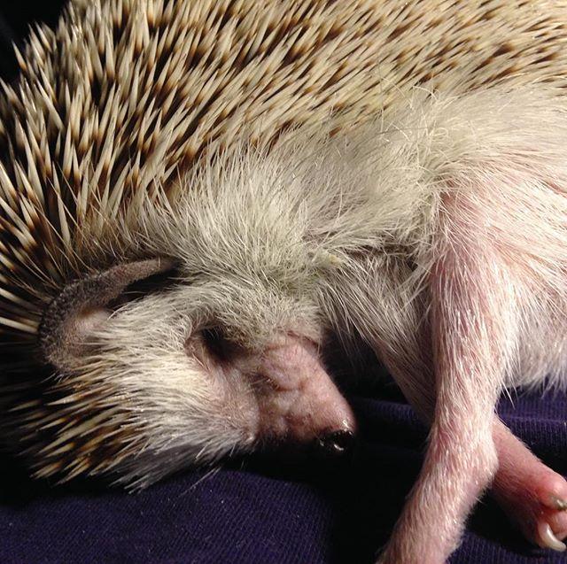 Pickles snoozing in my hand #hedgehog #hedgehogsofinstagram #tinyfeets #studiohedgehog