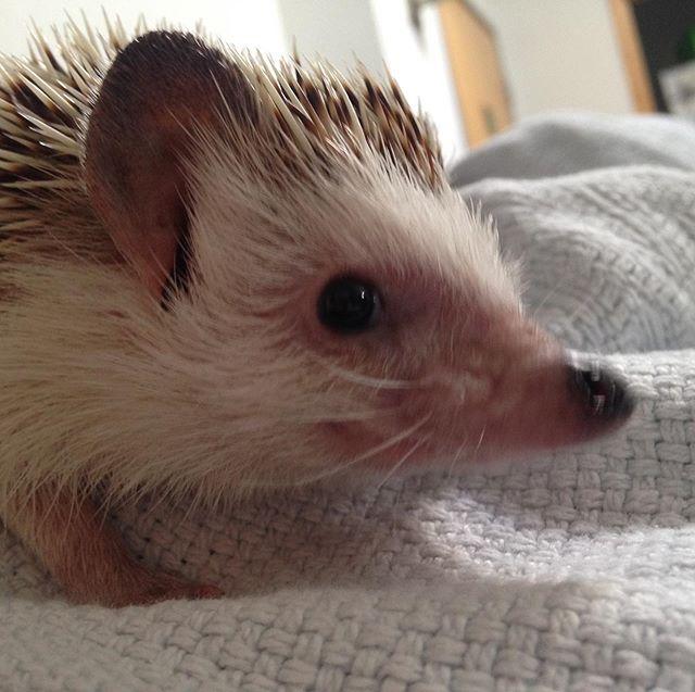 Happy Sunday from Pickles. #studiohedgehog #oldmanhedgehog #sunday