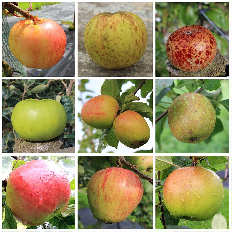 Apples (3) copy.jpg
