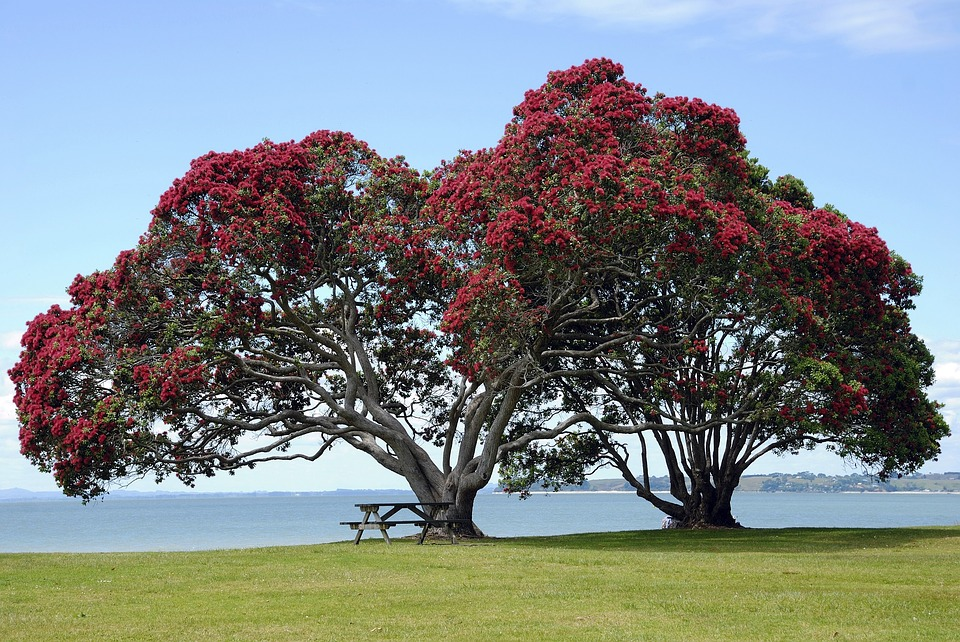 Pohutukawa trees in full bloom. New Zealand lies in the Southern Hemisphere, so Christmas is a summertime celebration!