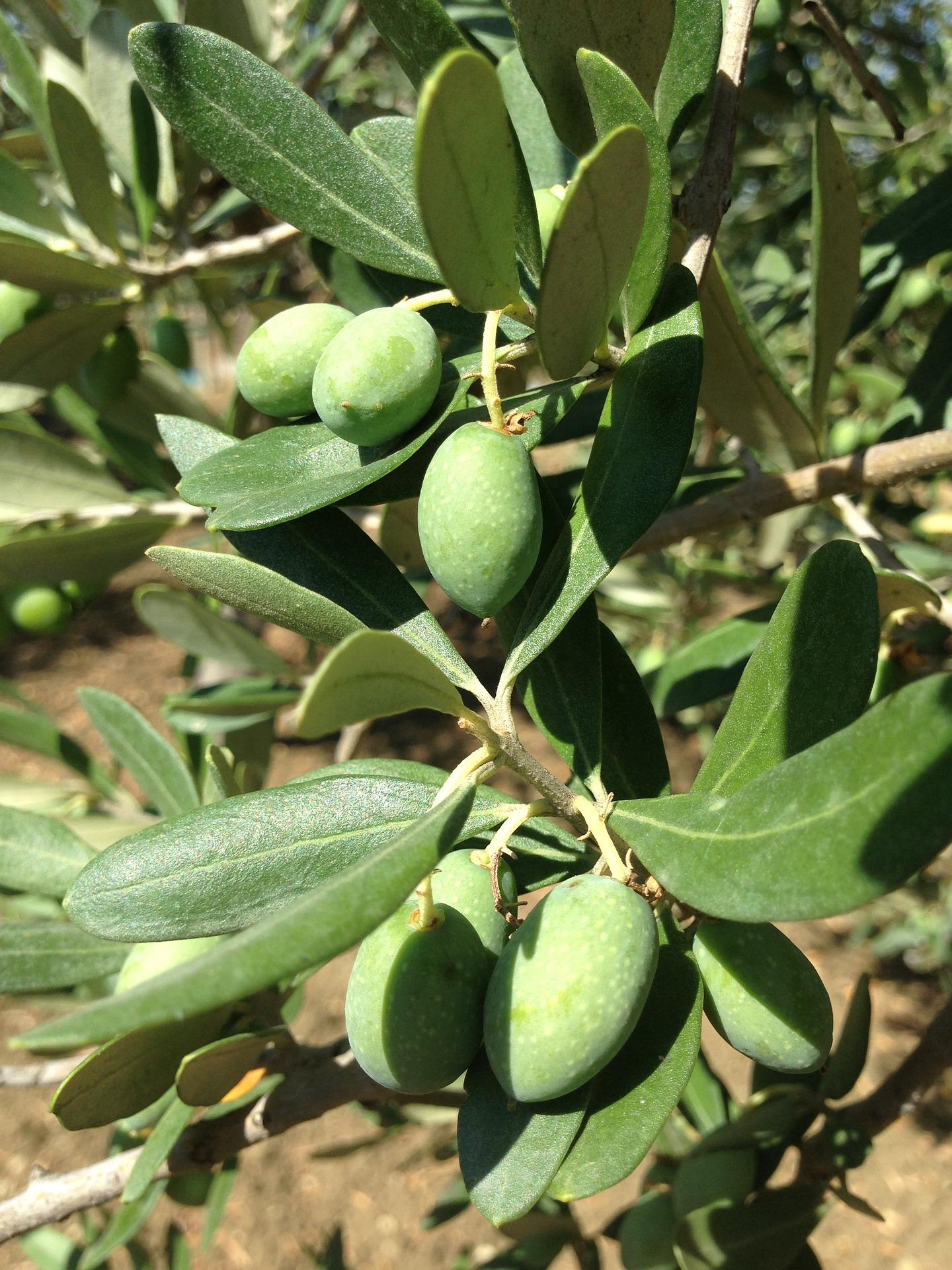 olives-1549770_1920.jpg