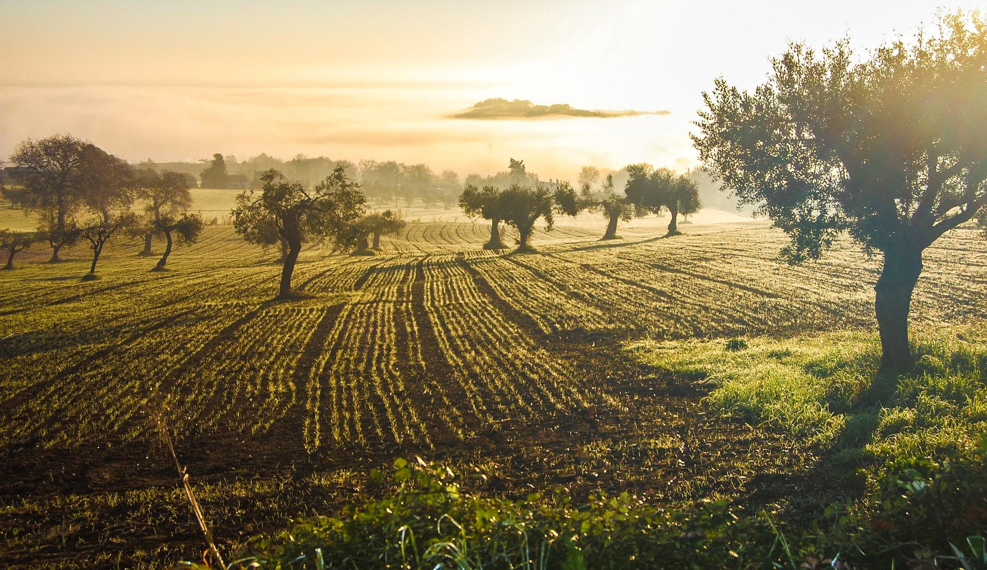 olive-grove-3453760_1920.jpg