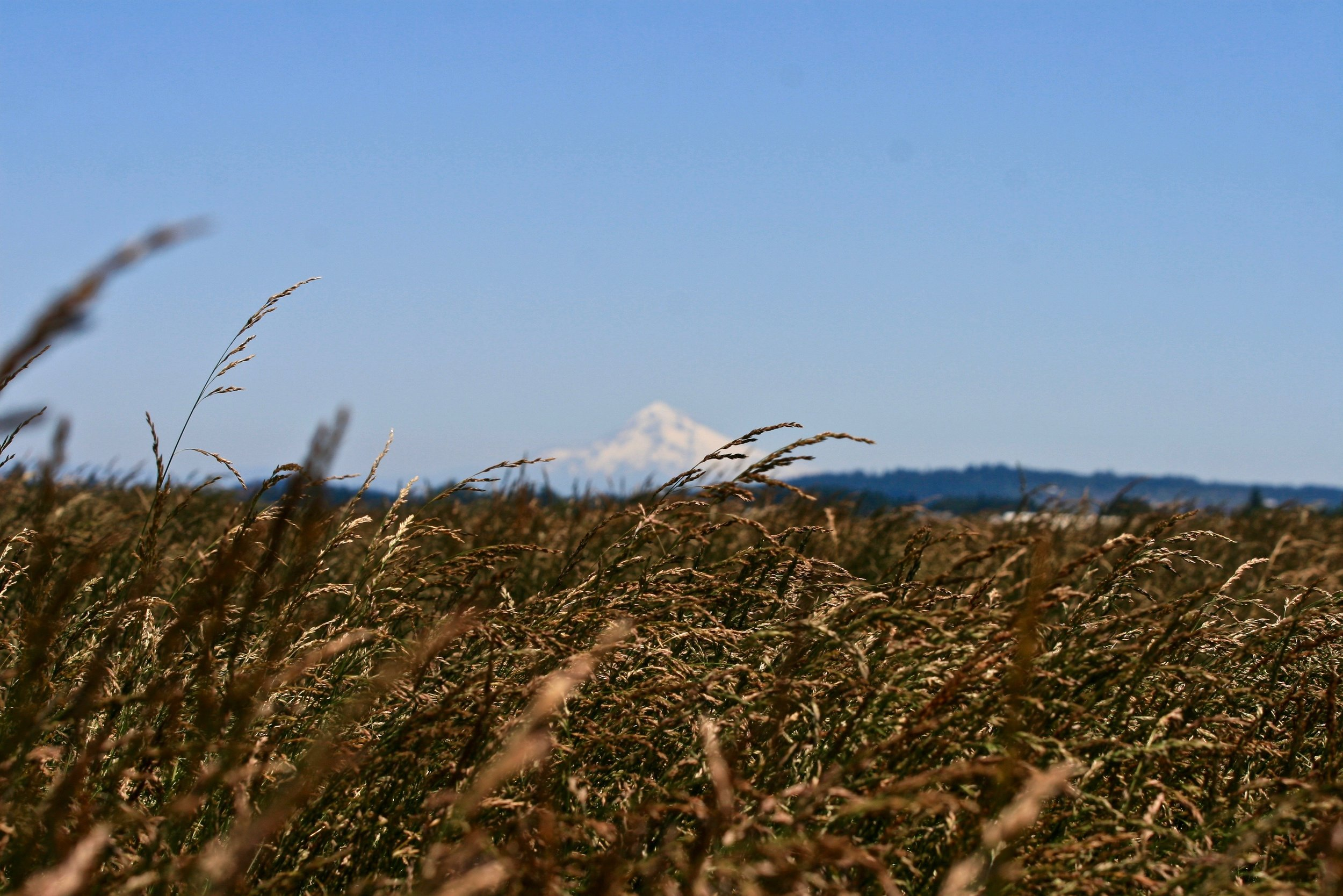 Being in the heart of one of the best grass seed growing regions in the world, we have been growing grass seed for 20+ years. This crop thrives in the cool, wet Pacific Northwest climate, which is why the Willamette Valley has become the world's largest producer of grass seed for both turf and forage.