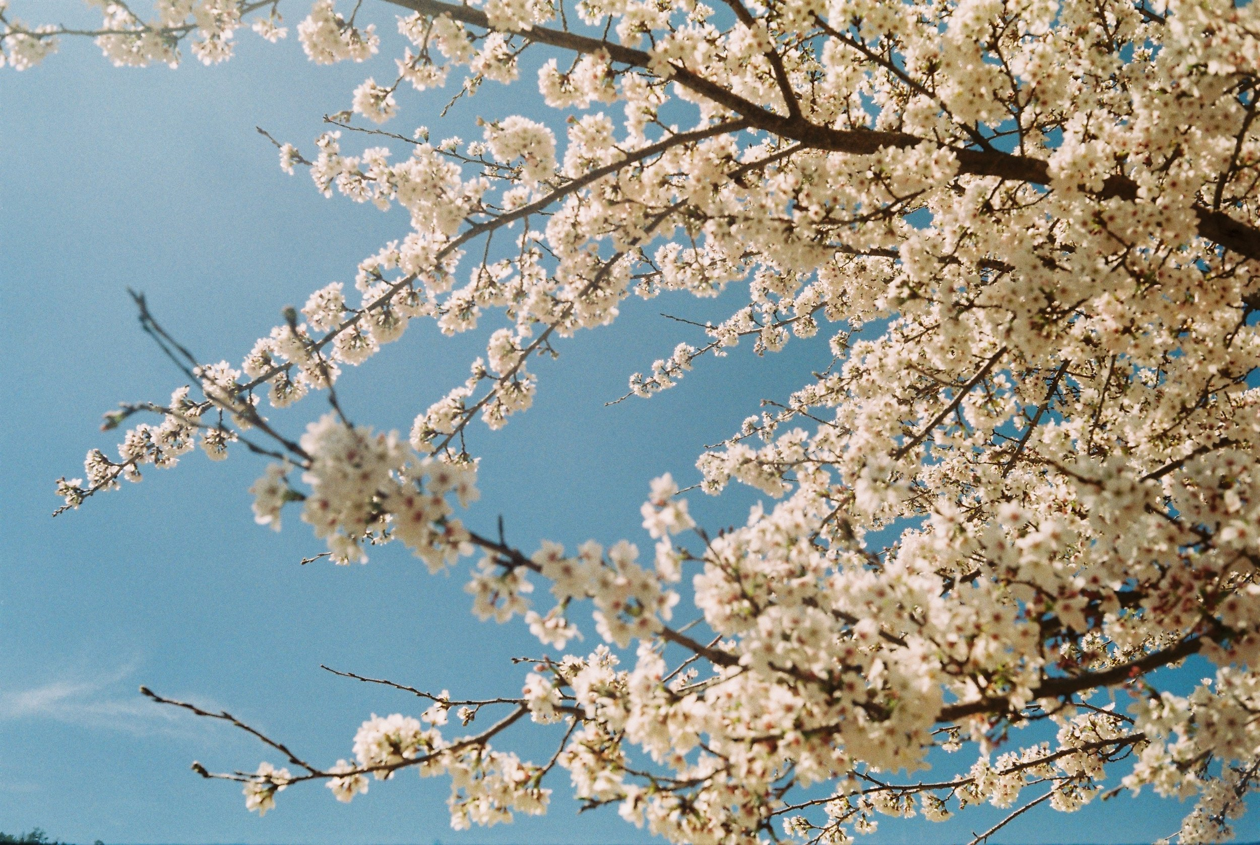 Cherry Blossoms in Blue Sky