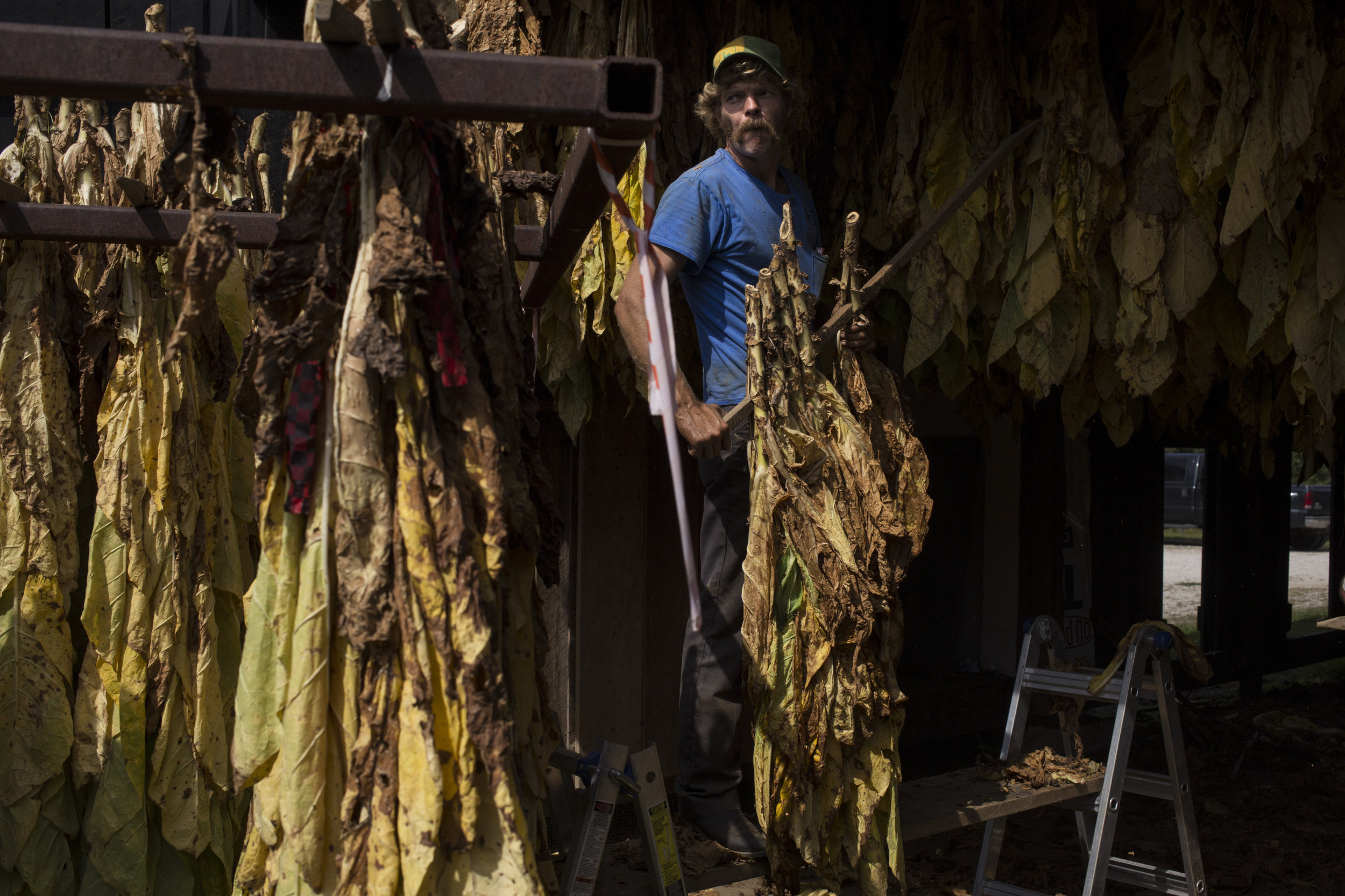 Thomas Morgan, 32, steadily lifts swaths of tobacco to be hung to dry at the Robinson Center for Appalachian Resource Sustainability in Quicksand, Ky., on Monday, September 27, 2017.