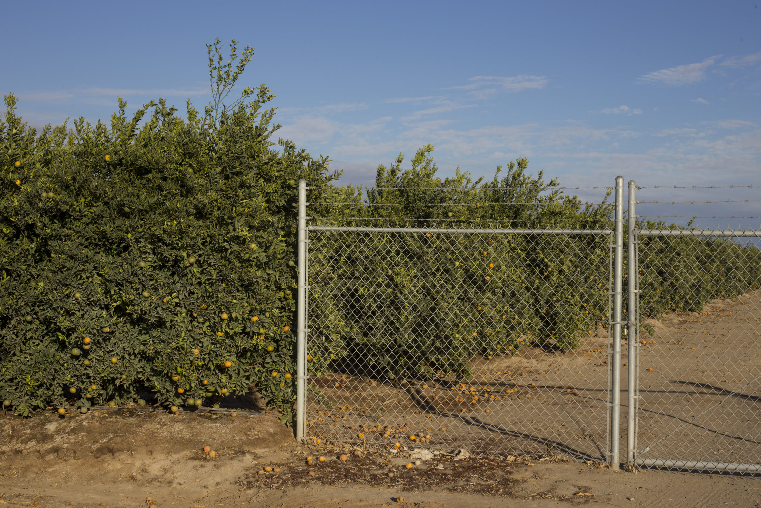 A barbed wire fence partially blocks a pathway in front of a massive plot of lemon trees in Fresno, Calif., on Friday, November 10, 2017.