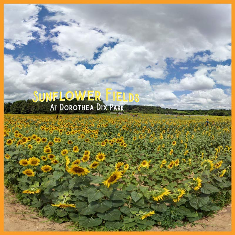 100k Organic Views with Viral 360° Photograph - We immortalized a highly-shareable sunflower field in Raleigh, NC with a viral 360° photo to understand how audiences would react on web, social & search.