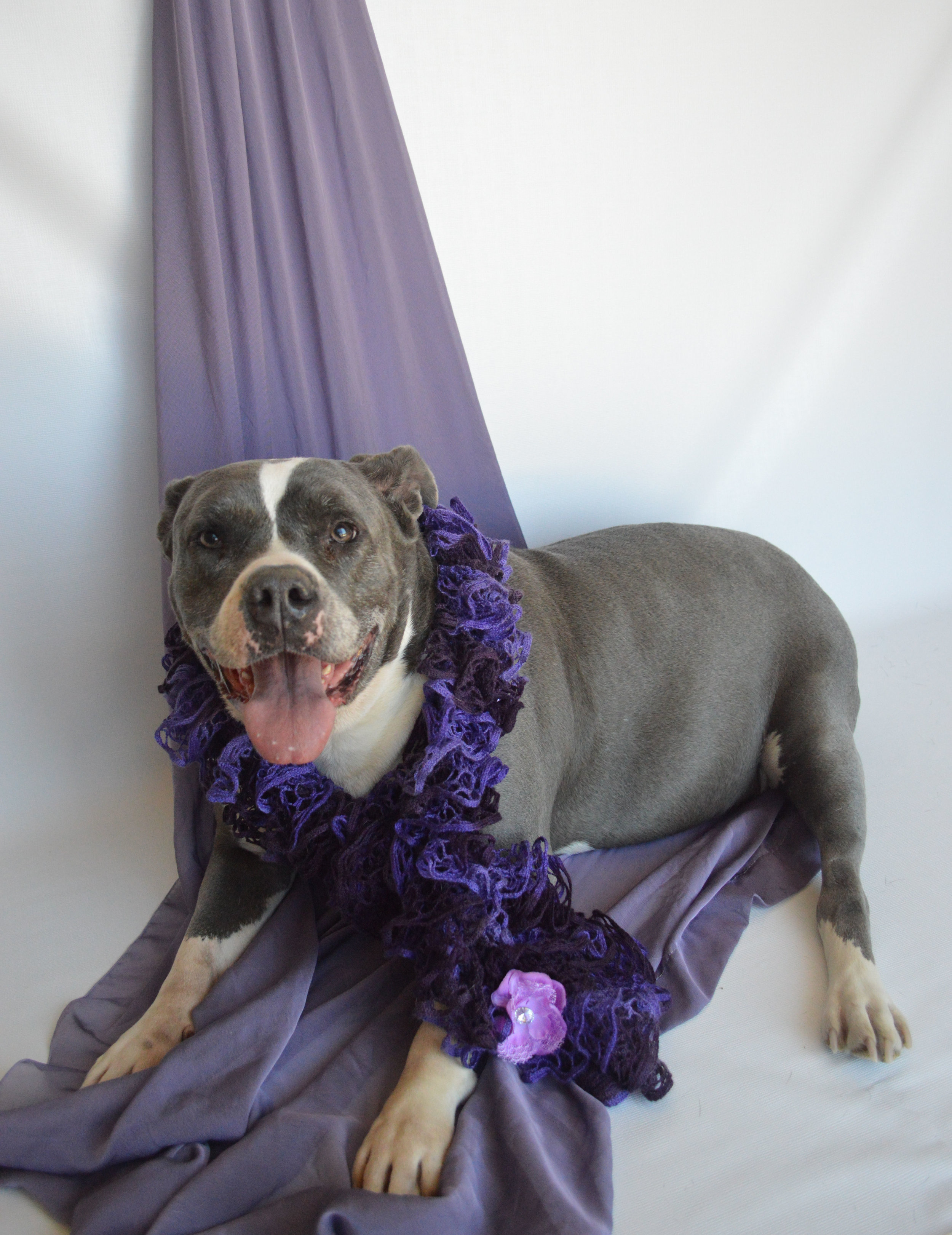 Marnie - Breed: DNA ~ tested1/2 American Staffs. Terrier1/4 Neapolitan Mastiff1/4 Bull MastiffDOB: 6-27-11Gender: femaleSize: large ~ 76 poundsColor: blue & whitePotty trained: yesCrate trained: yesWalks well on the leash: yesBasic commands: in trainingGood with kids: yesDogs: yesCats: noStatus: availableAdoption fee: $ 175