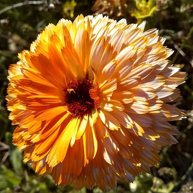 I love the resiny feeling on my fingers after harvesting Calendula flowers. Their beauty is so exquisite and what colors!! . . . #calendula #nofilter #fallinmaine #herbalist #flowermedicine