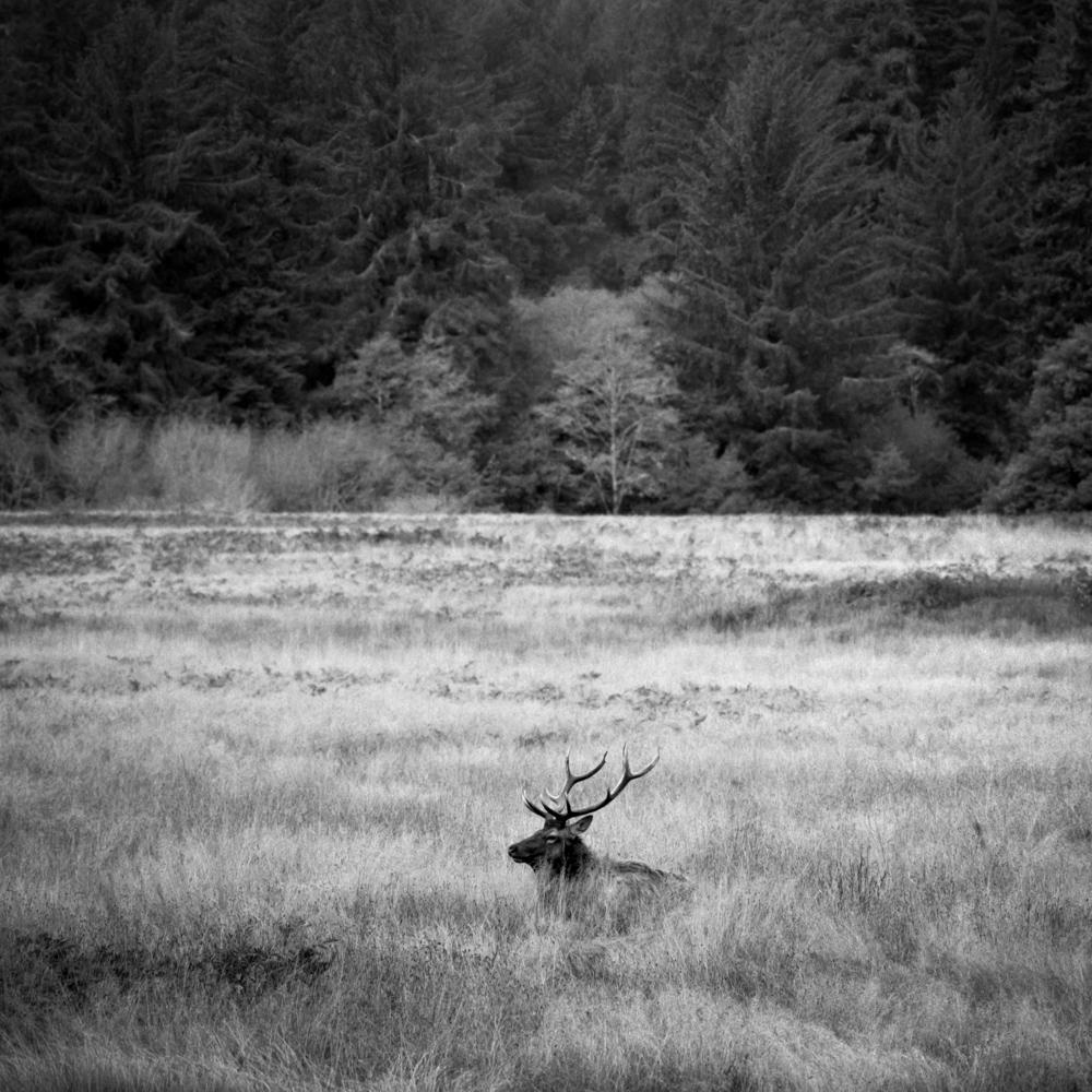 Elk in the Redwoods, November 2017