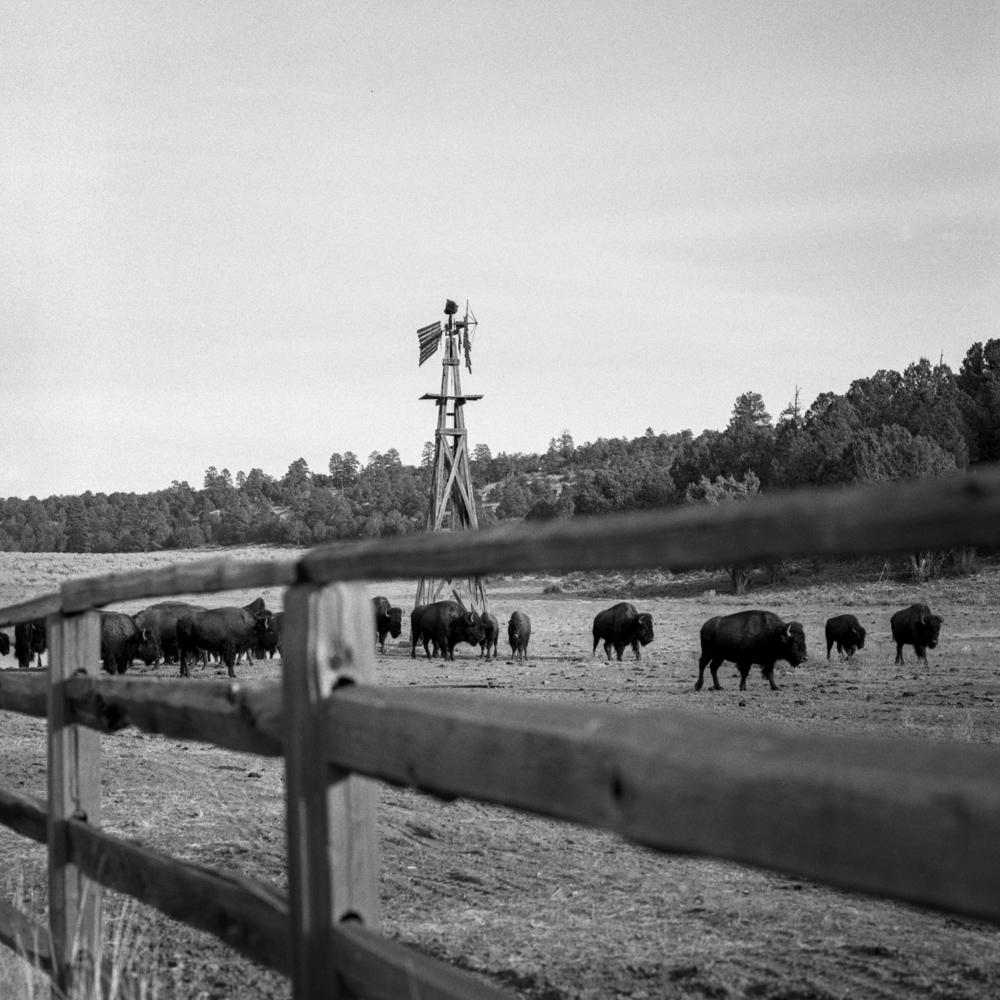 Buffalos near Kanab, UT, December 2017