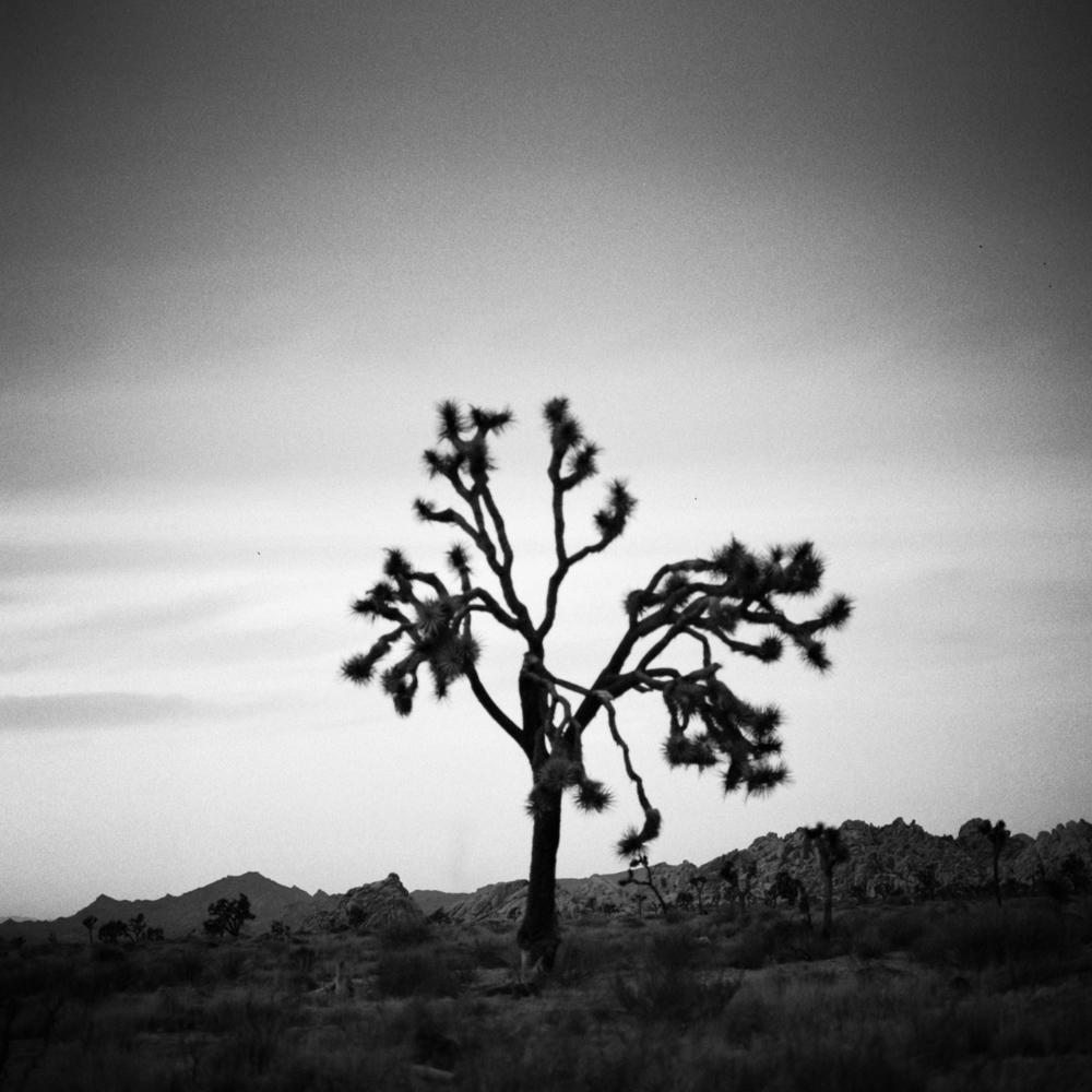 Joshua Tree at sunset, Joshua Tree, November 2017