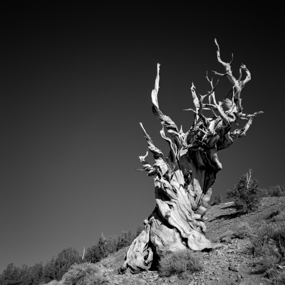 Bristlecone Pine, White Mountains, December 2017
