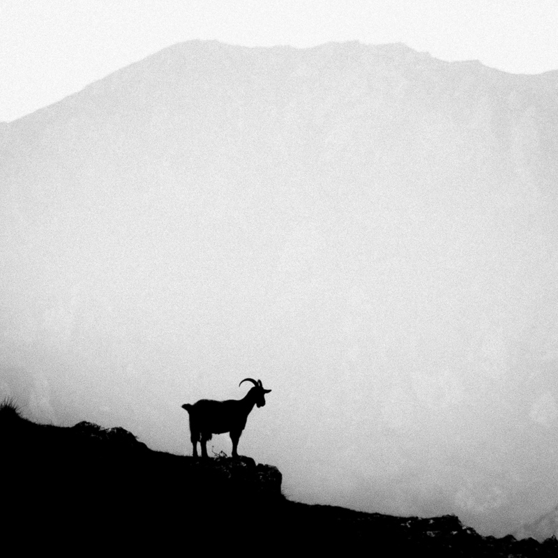 Goat, Picos de Europa, September 2018