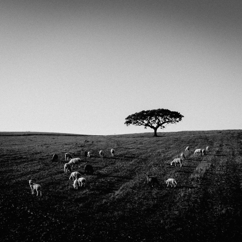 Sheep of the Alentejo, Almodovar, December 2018