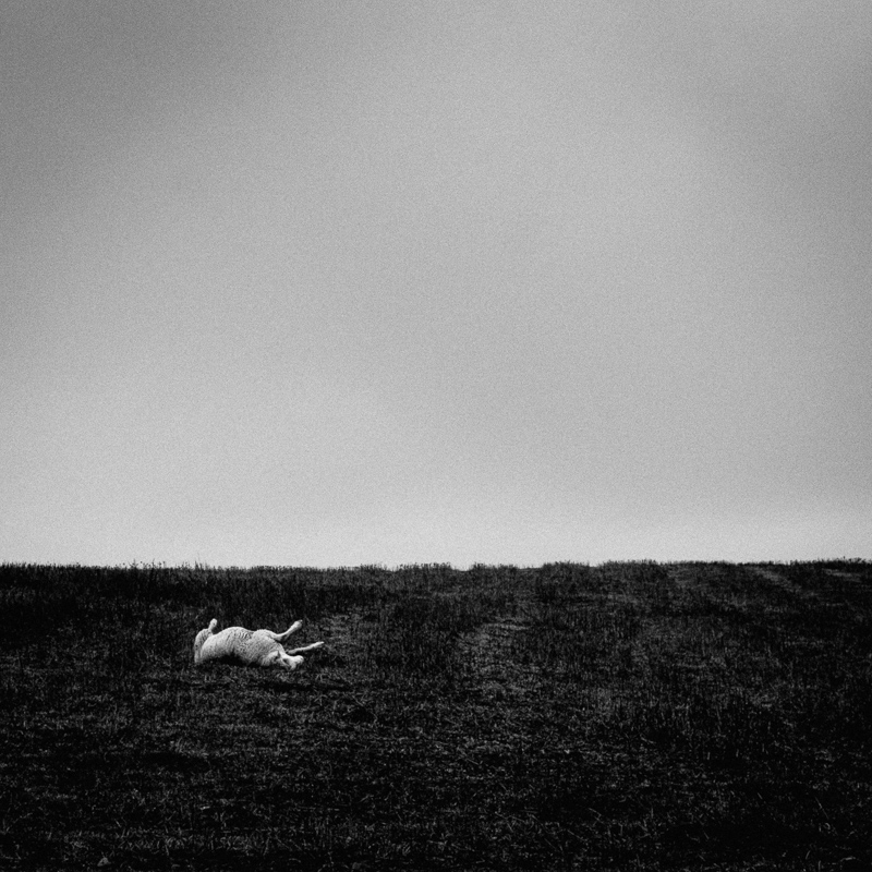 Dead sheep, Alentejo, December 2018