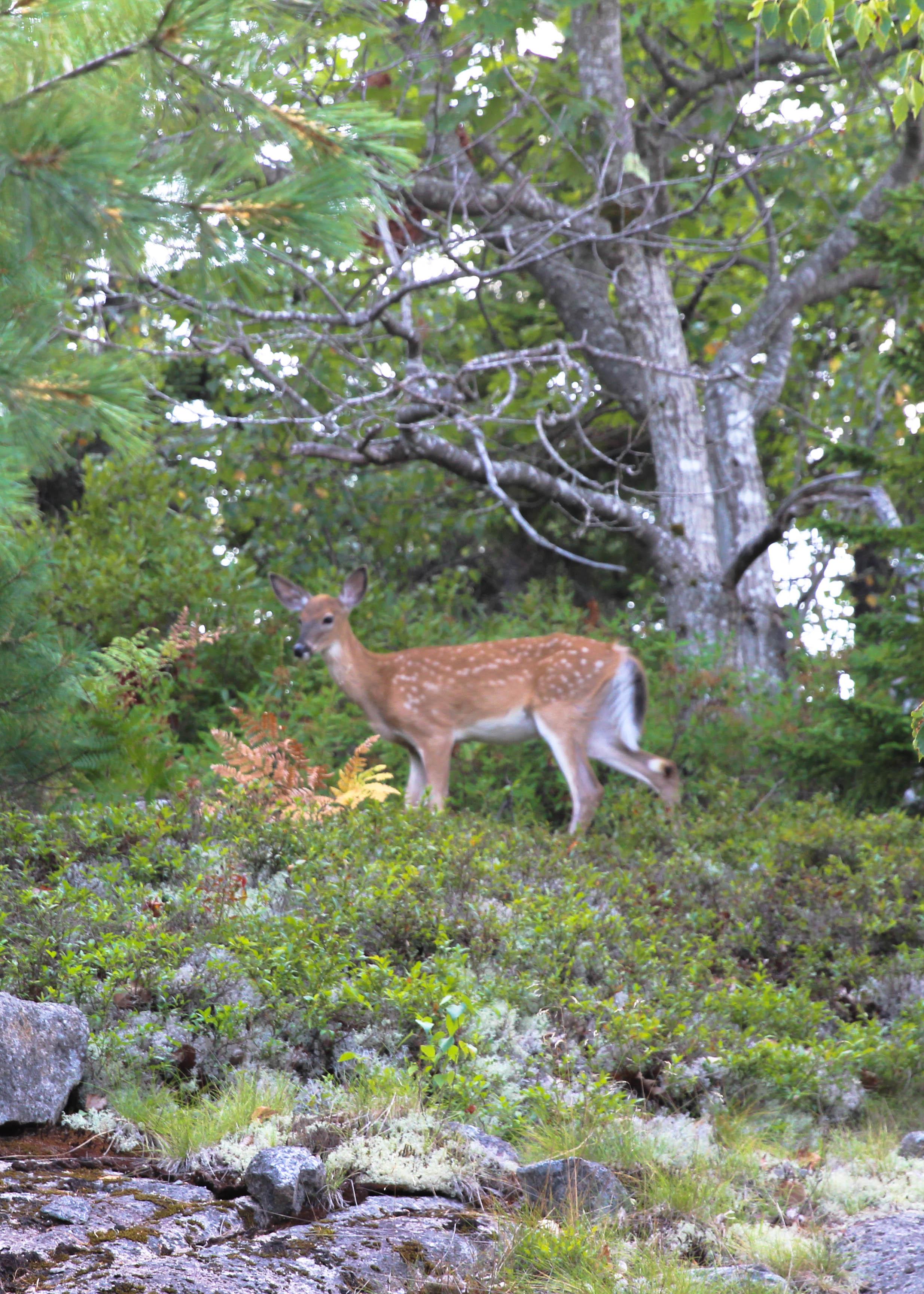 Deer Acadia.jpg