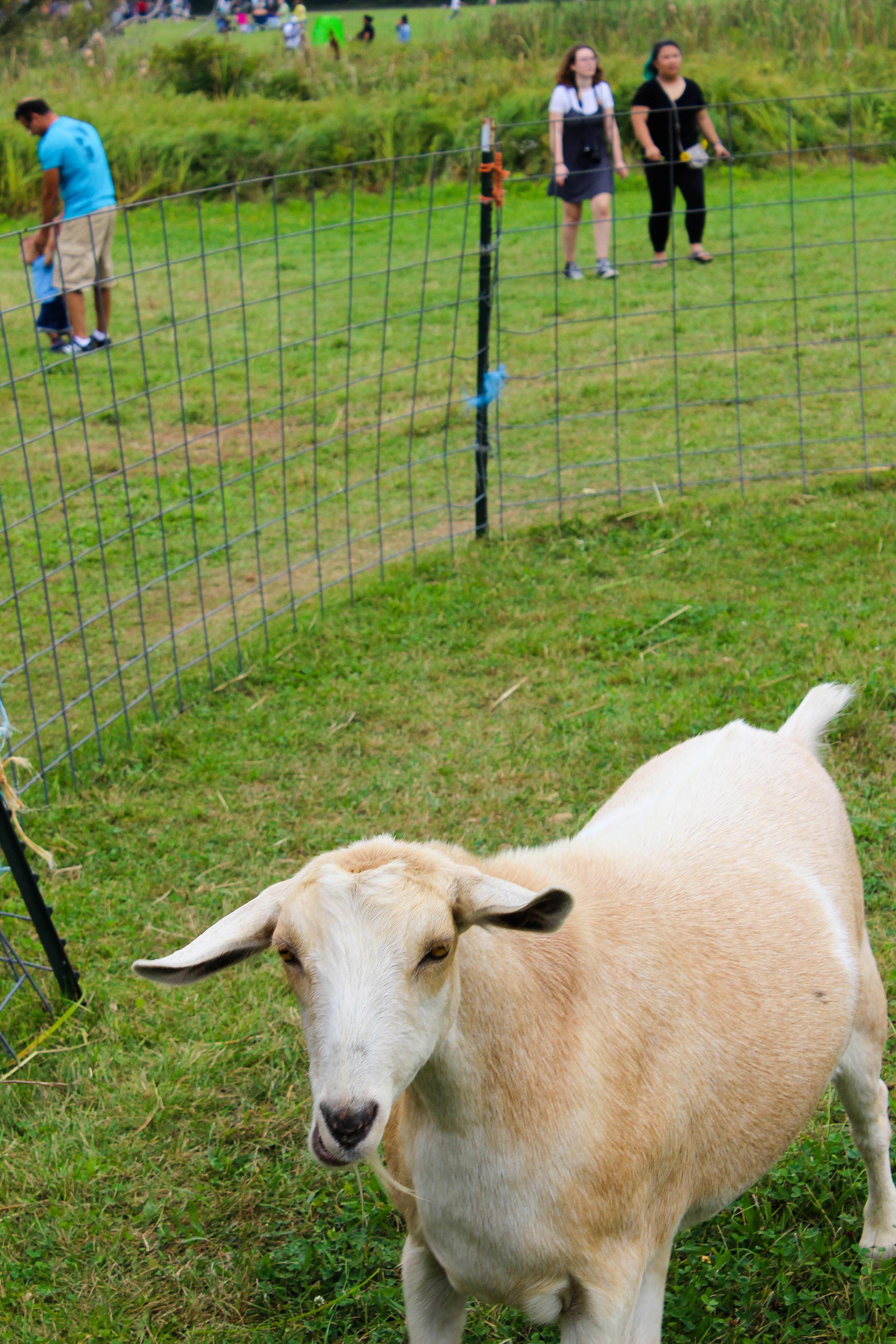 Colby Farm White Goat_.jpg