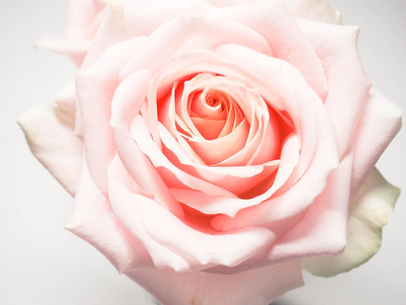free stock photography designed by jess - Pink Rose Macro.jpg