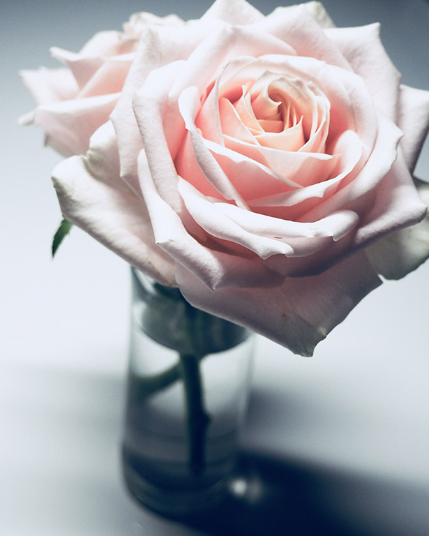free stock photography designed by jess - Pink Rose.jpg