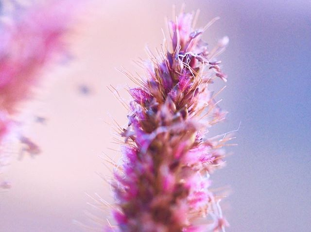 One of my favourite macro shots of the weeds growing near my house 😊 You know those tall grass weeds we get in Australia, that have a brown furry top - well this is it in macro at sunset! Who knew it would be so beautiful 😄 I'll admit I did turn up the pink, but it naturally did have such a beautiful pink hue. 🌷 If you're looking for a photographer to capture those beautiful details of you or your business, then get in touch 🌿🌸😄