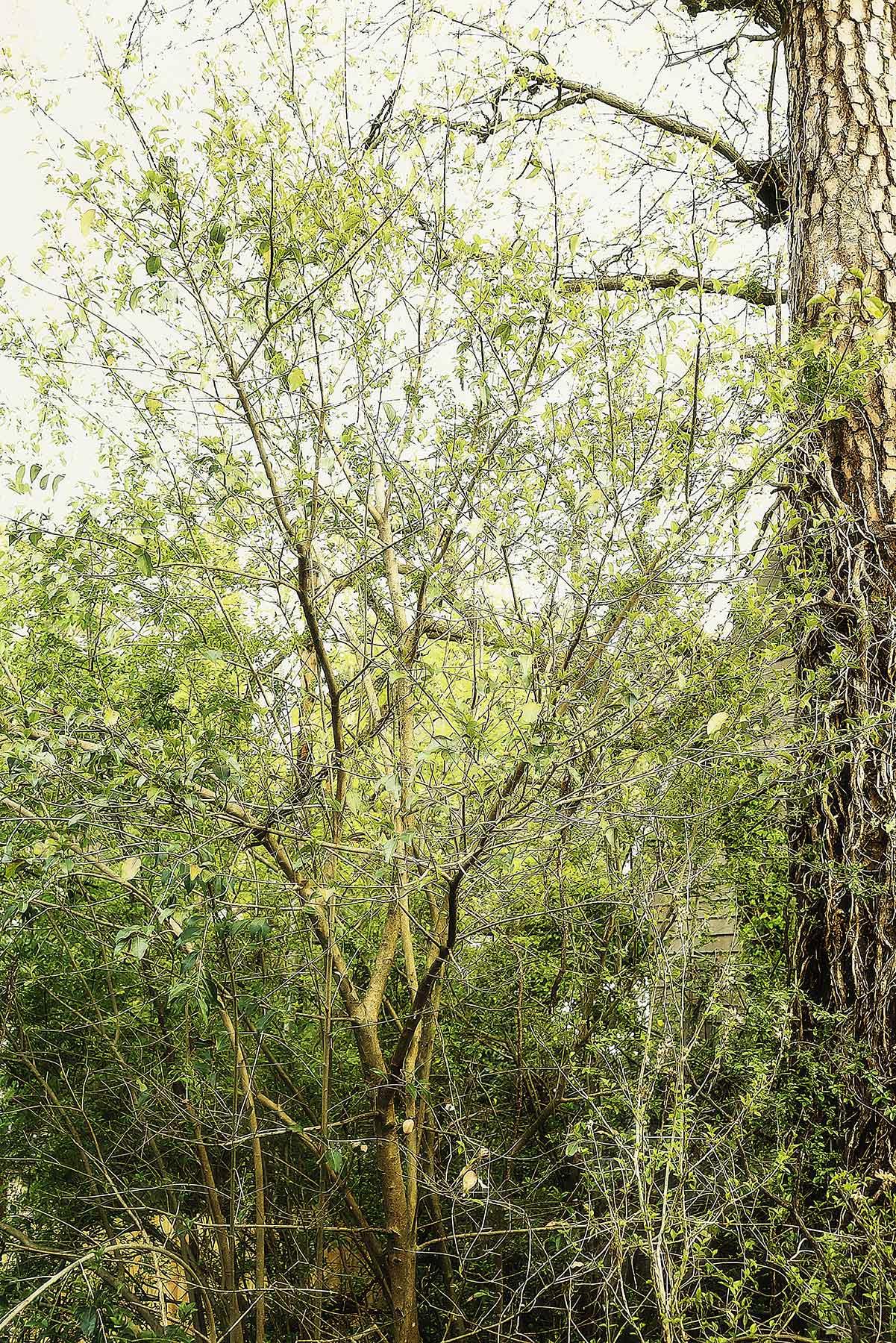 Trees #2036
