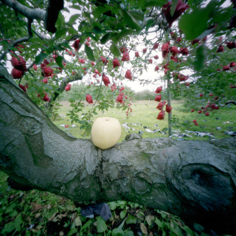 Rejected Apple, Fall, Aomori Prefecture