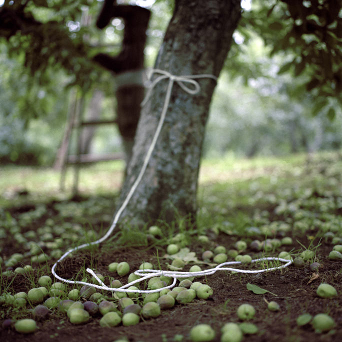 Culled Apples #1, Early Summer, Aomori Prefecture