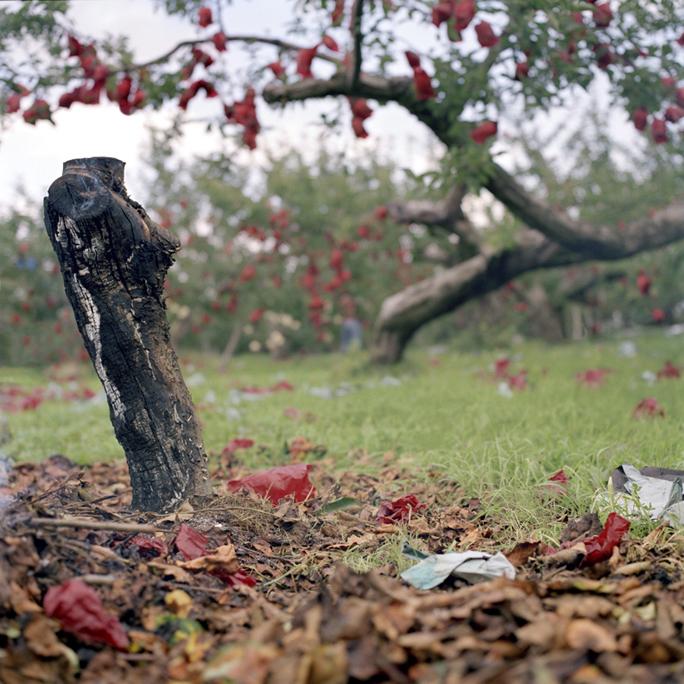 Charred Stump, Fall, Aomori Prefecture