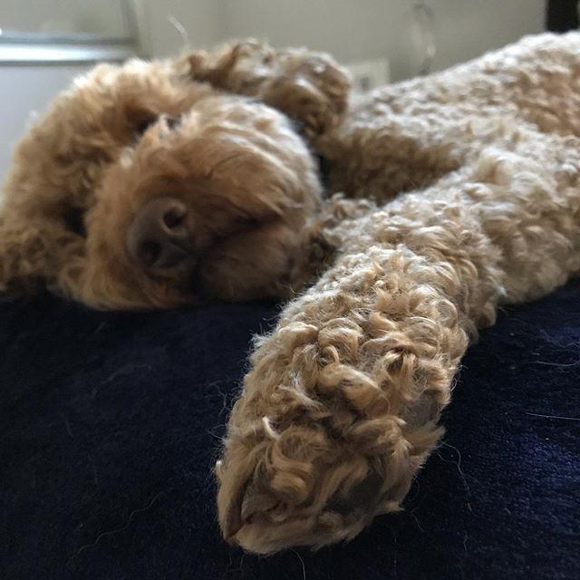 Do I have to go outside? I'm so tired! #tlcfriends #petsitteraustin #dogwalking