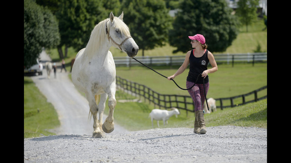 Trainer Shelby Piovoso leads Avalance, a nearly 30-year-old Persheron gelding, rescued from slaughter, to his training session at Gentle Giants Draft Horse Rescue in Mount Airy Friday, July 13, 2018.