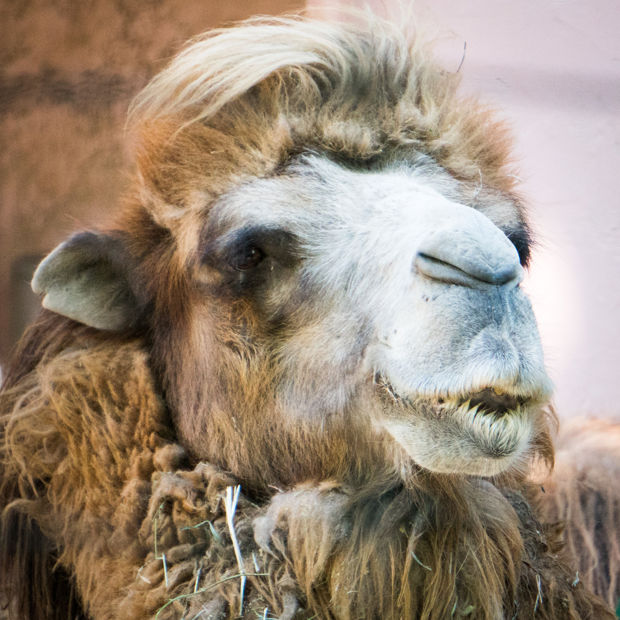 02 camel.jpg