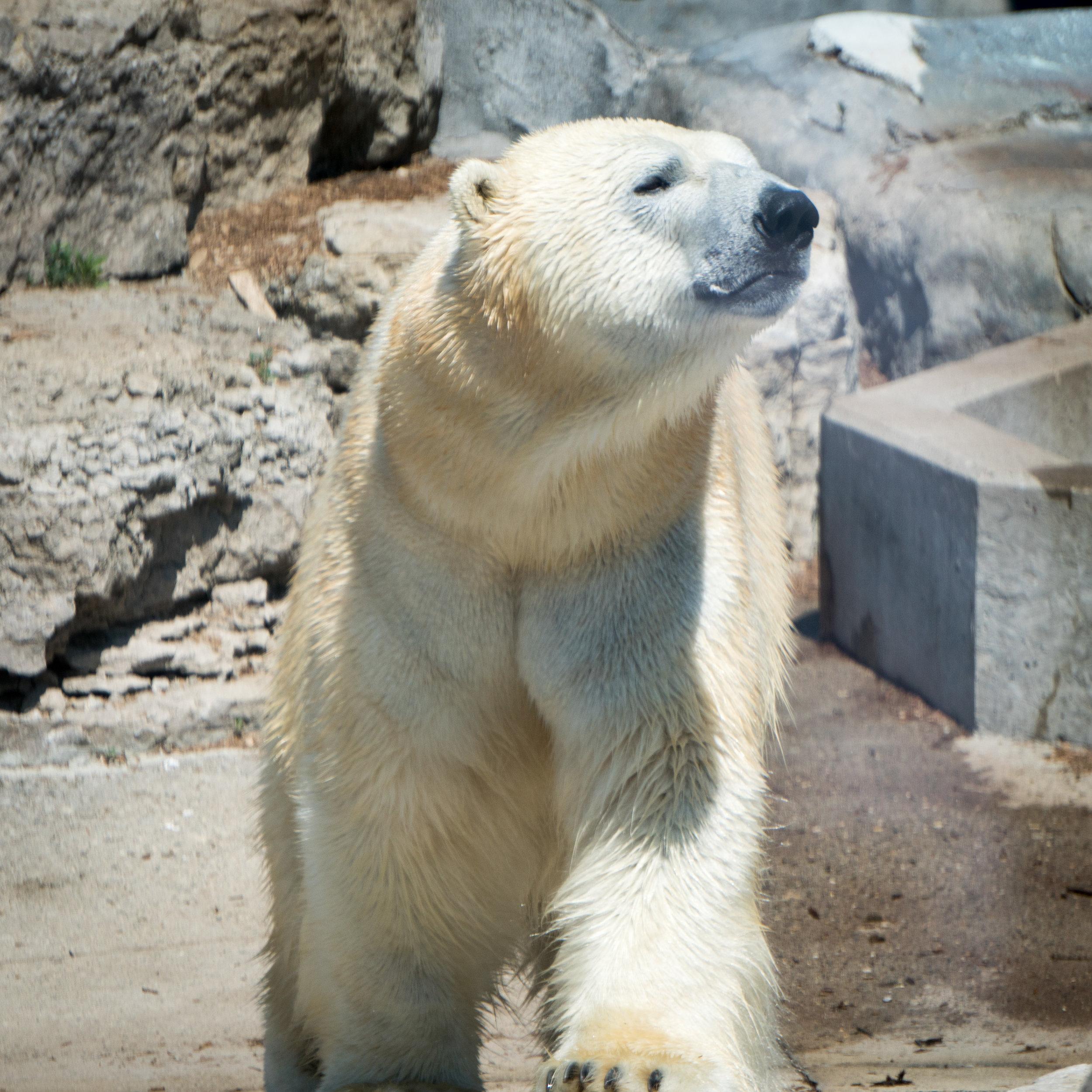 17 polar bear.jpg