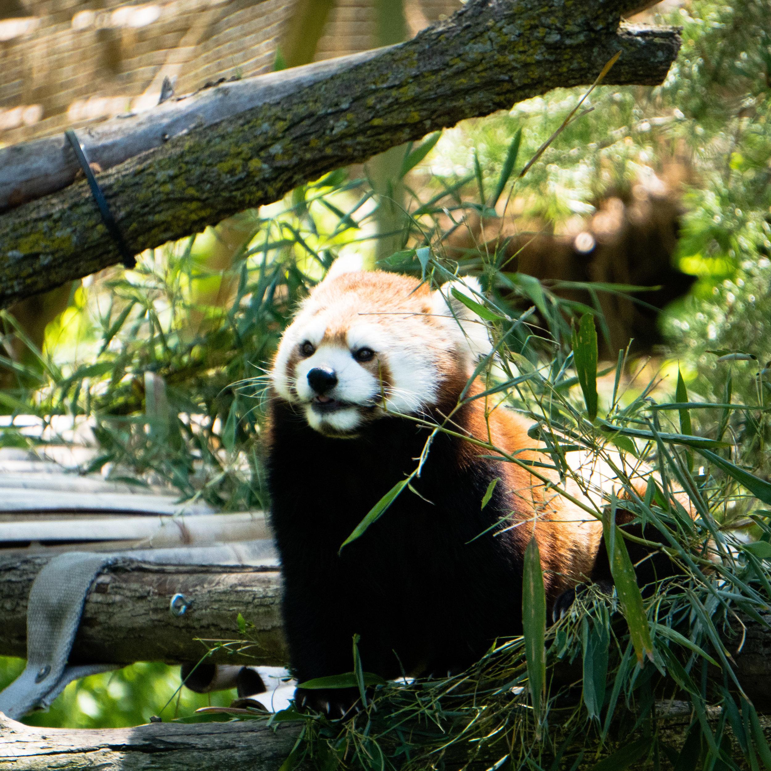 18 red panda.jpg