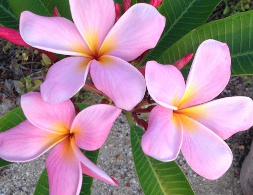 Claranandaflowers1.jpg
