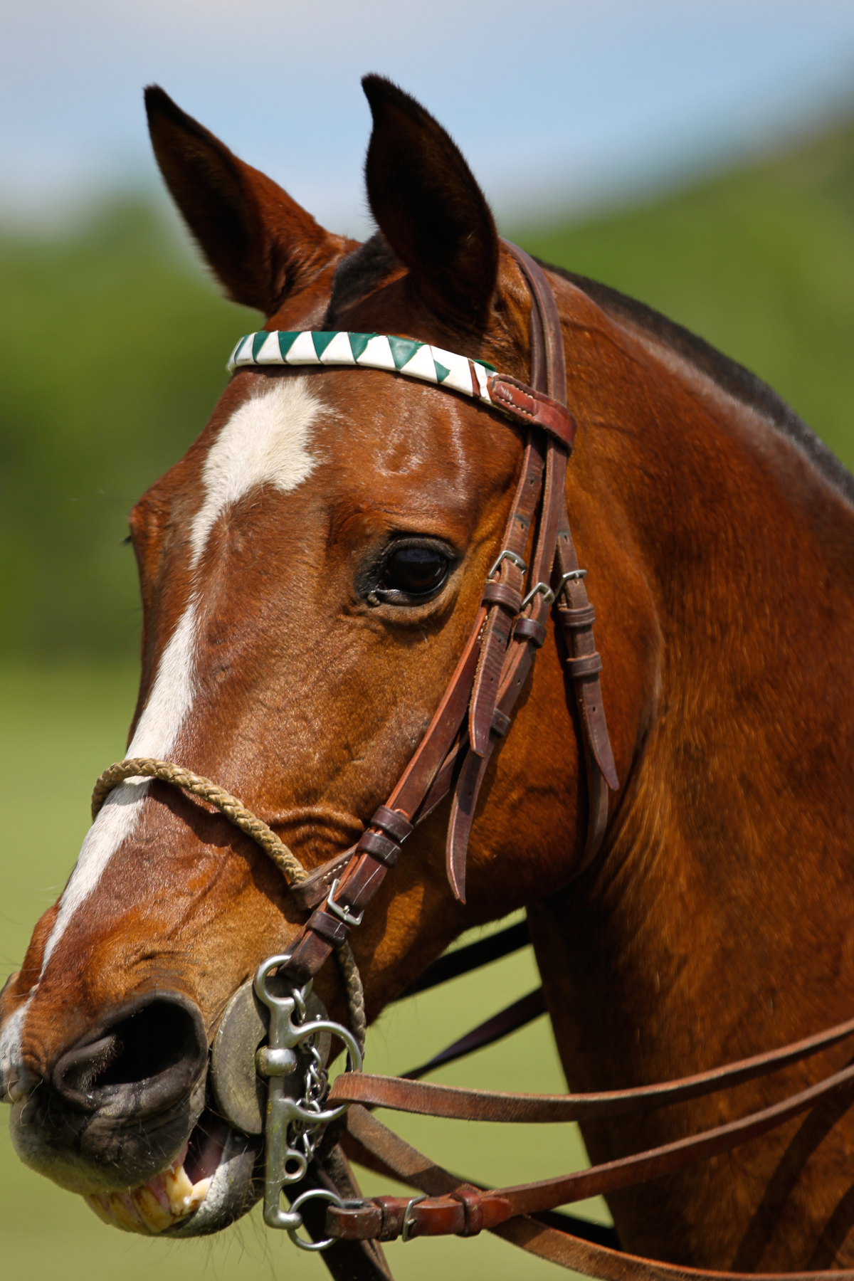 denver polo pony
