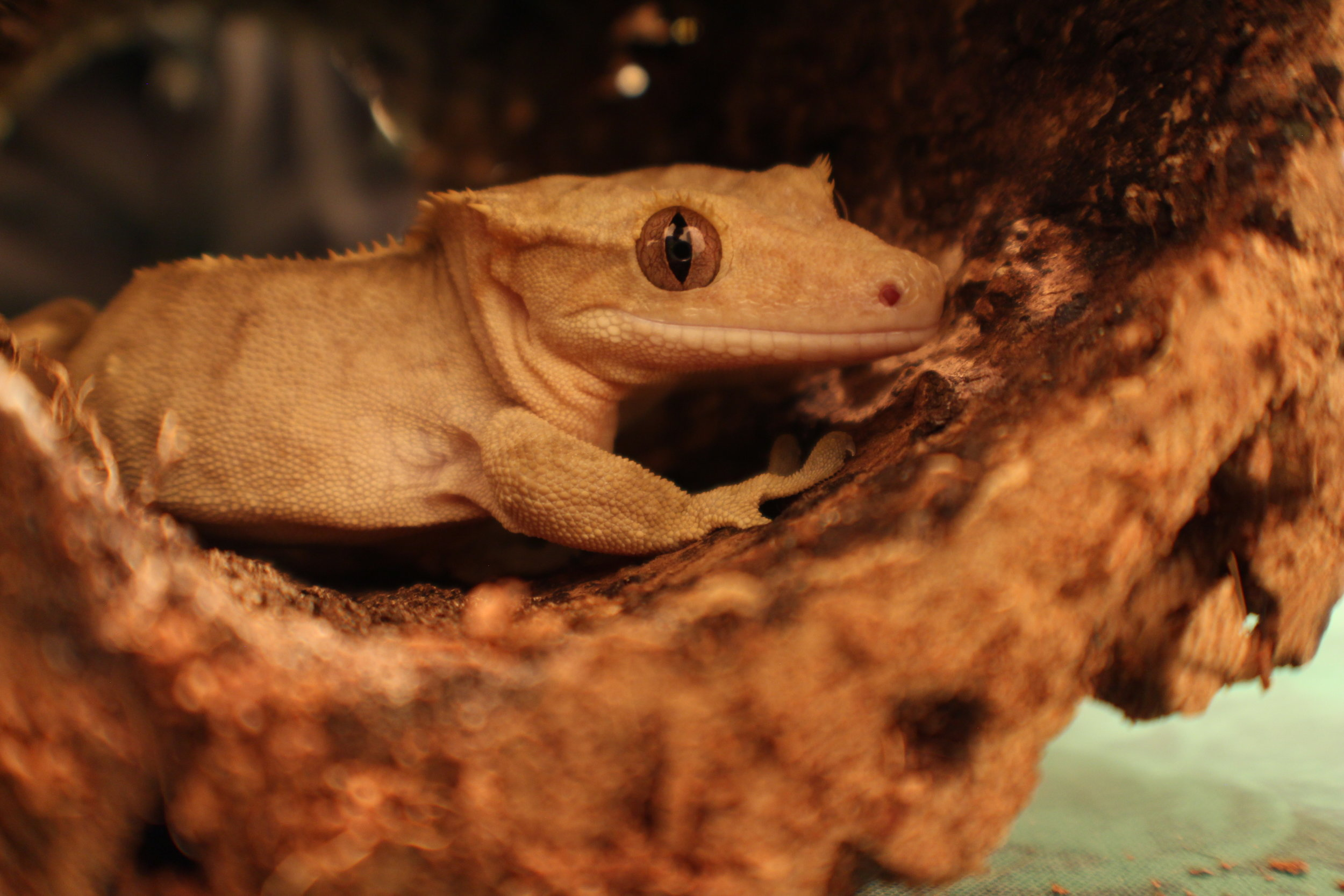 Estelle, my first Crested Gecko and breeding female.