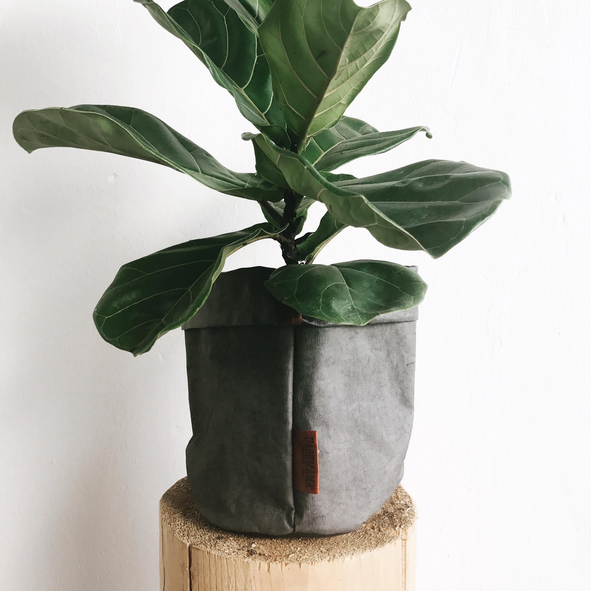 dwarf fig in paper container.jpg