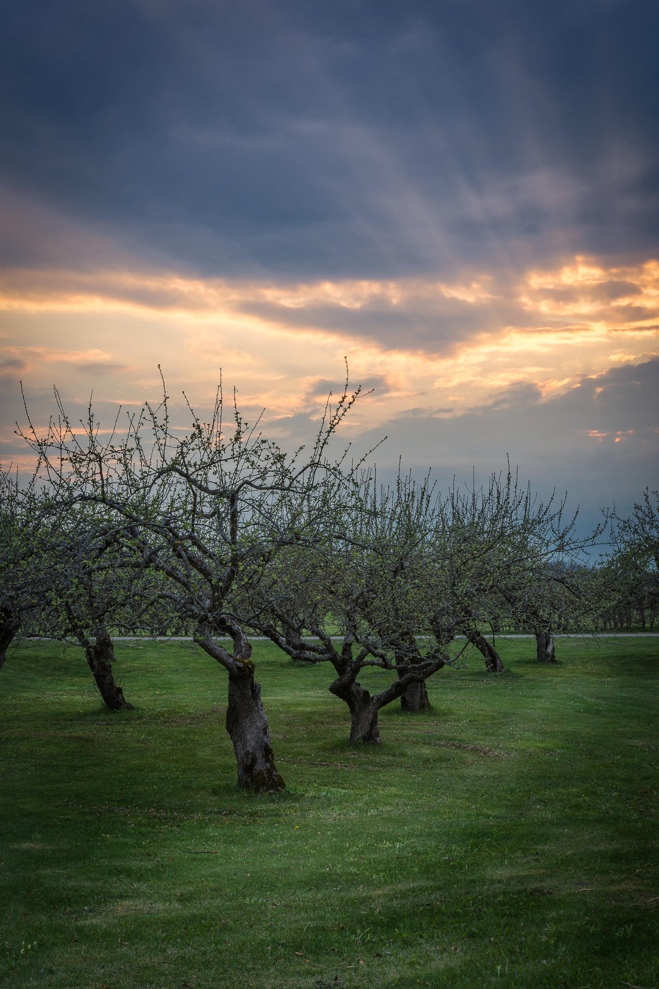The apple tree parade